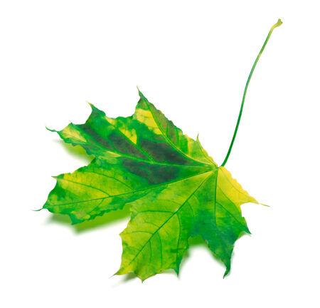 Yellowed maple-leaf. Isolated on white background photo
