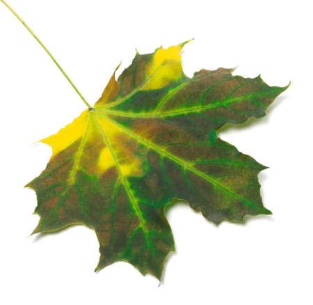 Multicolor maple leaf isolated on white background photo