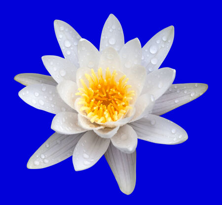 Victoria amazonica, water lilie. Isolated on blue background. photo