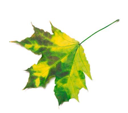 Multicolor maple-leaf, isolated on white background photo