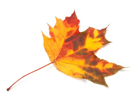 wizen: Orange autumn maple leaf. Isolated on white background