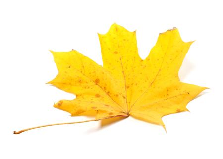 wizen: Autumn yellow maple leaf isolated on white background