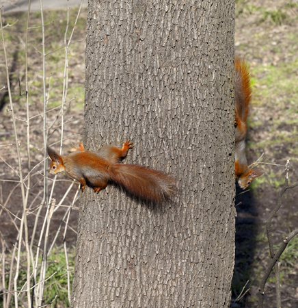 footsie: Two red squirrels play footsie on tree trunk