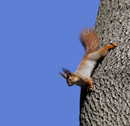 Red squirrels on tree. Isolated on blue background. photo