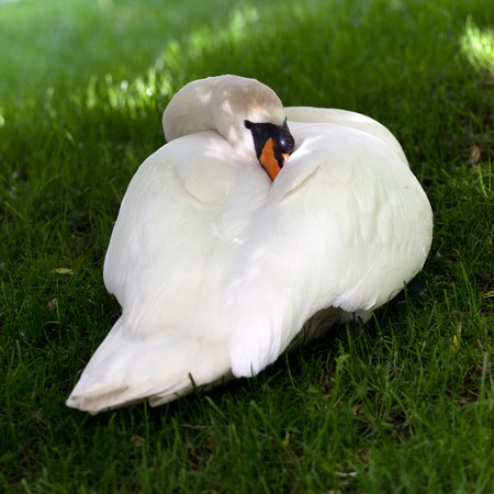 Mute swan on green grass. Close-up view.  photo