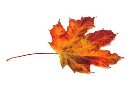 Autumn maple-leaf isolated on white background photo