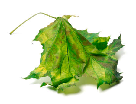 Yellowed maple-leaf isolated on white background photo