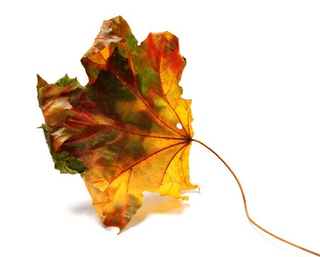 Dry autumn maple-leaf isolated on white background. photo