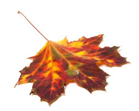 Autumn yellowed maple-leaf isolated on white background. Selective focus photo