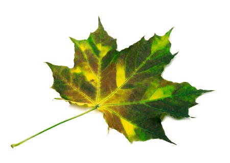wizen: Multicolor maple leaf. Isolated on white background
