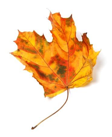 Yellowed autumn maple-leaf isolated on white background.  photo