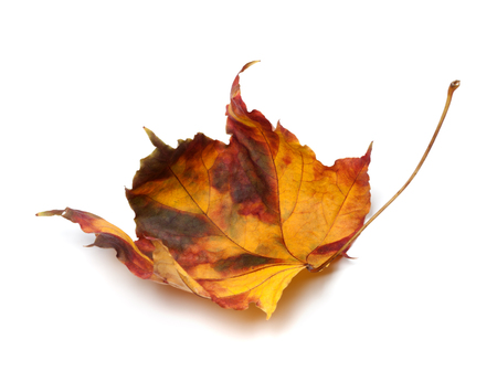 Multicolor autumn maple-leaf isolated on white background photo