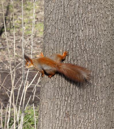 footsie: Red squirrels on tree trunk