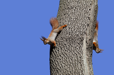 Two red squirrels play on tree. Isolated on blue background. photo