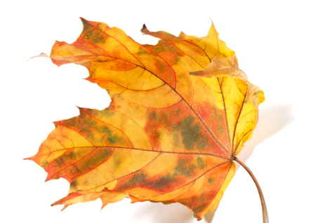 Yellowed autumn maple-leaf isolated on white background. Close-up view photo