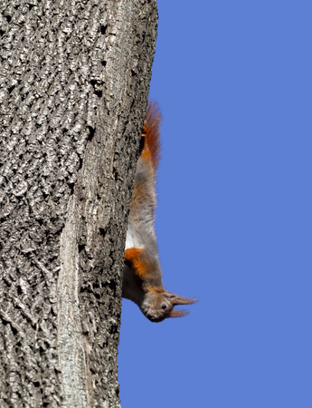footsie: Red squirrel play on tree. Isolated on blue background.