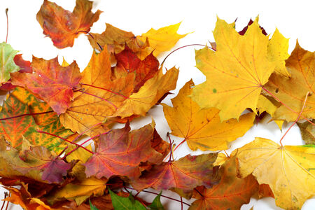 wizen: Autumn dry maple-leafs on white background