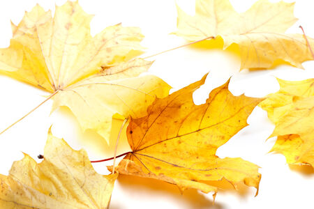 wizen: Autumn yellow maple-leafs in white background. Selective focus