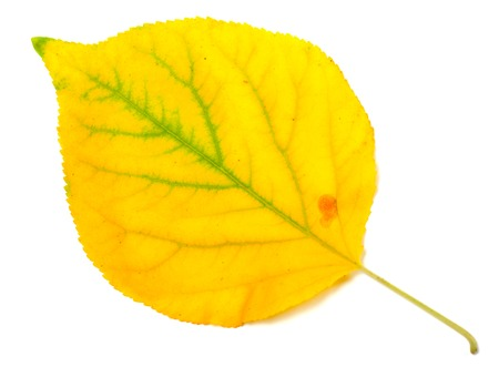 wizen: Yellowed autumn poplar leaf isolated on white background. Close-up view.