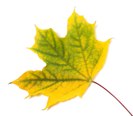 wizen: Yellowed autumn maple leaf isolated on white background Stock Photo