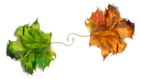 Two dry maple-leafs, orange and green. Isolated on white background photo