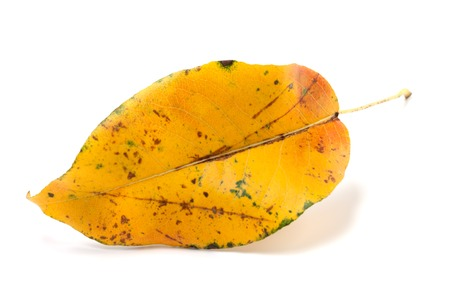 wizen: Yellowed autumn leaf isolated on white background. Close-up view.