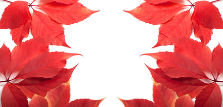 Autumn leaves background with copy space. Virginia creeper leafs. photo