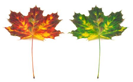 Multicolor autumn maple-leaf. Isolated on white background photo