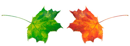 Green and red maple-leafs isolated on white background photo