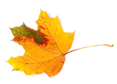 wizen: Multicolor autumn maple leaf. Isolated on white background