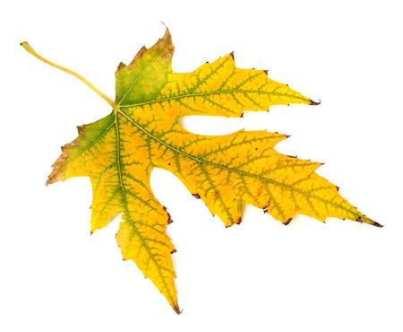 Yellowed autumn leaf isolated on white background photo