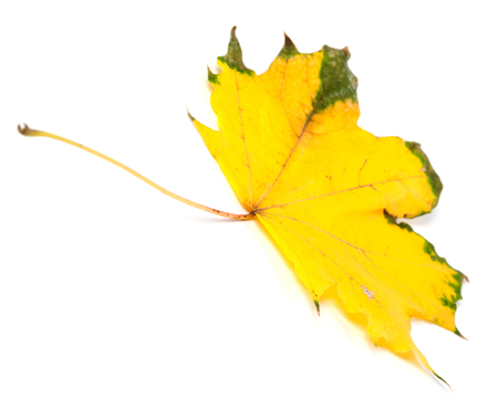 yellowed: Yellowed autumn maple leaf. Isolated on white background. Selective focus.