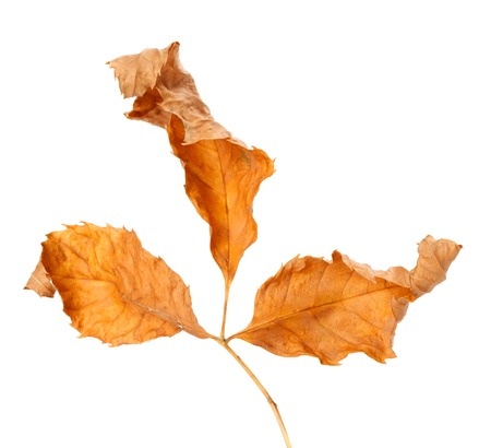 wizen: Dried autumn leaf. Isolated on white background. Close-up view. Stock Photo