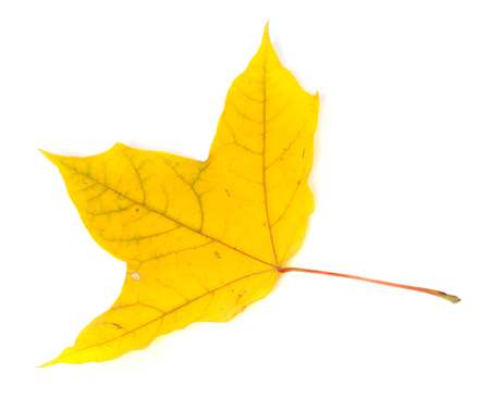 wizen: Autumn yellowed leaf. Isolated on white background.