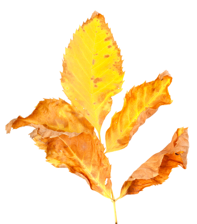wizen: Dry yellowed autumn leaf. Isolated on white background.
