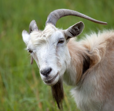 Portrait of goat. Close-up view.