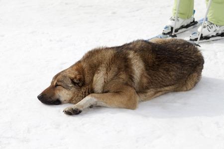 Dog sleeping on ski slope photo