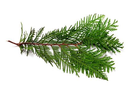 thuja occidentalis: Thuja branch isolated on white background