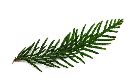 thuja occidentalis: Thuja branch isolated on white background. Close-up view.