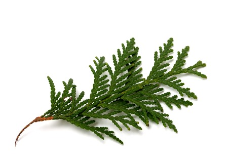 Branch of thuja isolated on white background. Close-up view. Stockfoto