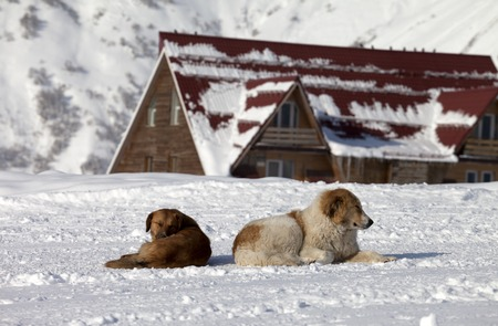Two dogs rest on snow in ski resort near hotel photo