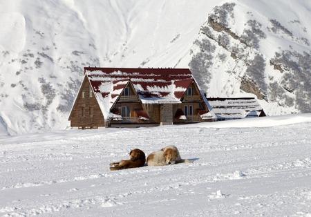 Two dogs rest on ski slope. Caucasus Mountains, Georgia, ski resort Gudauri.