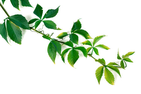 Branch of green grapes leaves. Parthenocissus quinquefolia foliage. Isolated on white background. photo