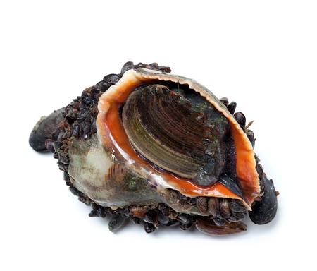 sea slug: Veined rapa whelk overgrown with mussels. Isolated on white background
