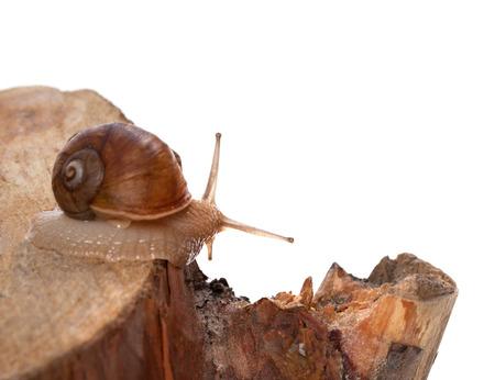 pinetree: Little snail on pine-tree stump. Stock Photo