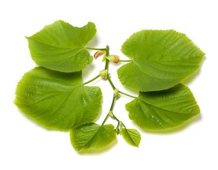 tilia: Spring tilia leafs isolated on white background