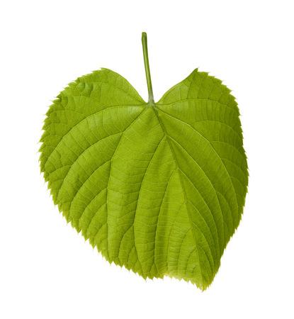 tilia: Spring tilia leaf isolated on white background