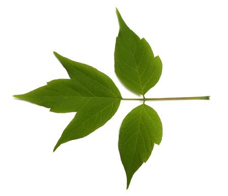 acer: Spring acer negundo leaf. Isolated on white background Stock Photo