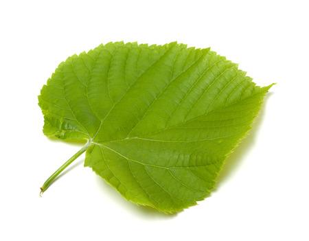 basswood: Spring tilia leaf isolated on white background