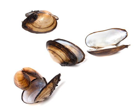 saltwater pearl: Shells of mussels  isolated on white background